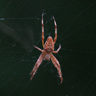 Araneus diadematus - The European Garden Spider aka The Cross Orbwweaver
