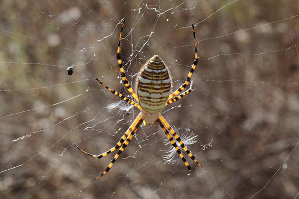 Argiope trifasciaata - The Banded Argiope