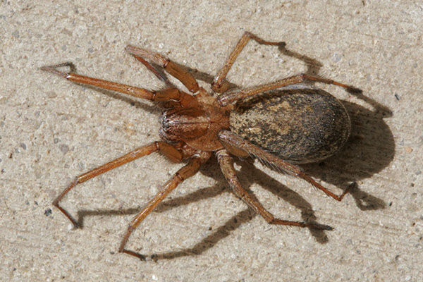 Eratigena agrestis - The Hobo Spider