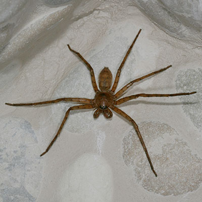 Heteropoda venatoria - The Brown Huntsman Spider aka Giant Crab Spider aka Banana Spider