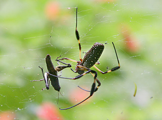 Nephila clavipe s - The Golden Silk Orbweaver