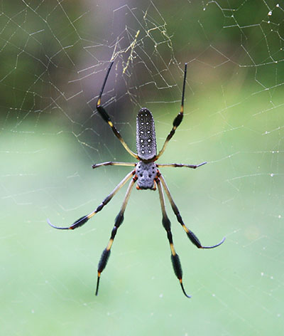 Nephila clavipes - The Golden Silk Orbweaver