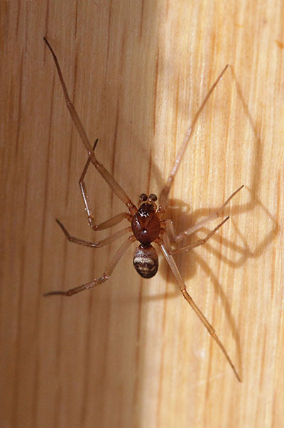 Steatoda grossa - The Cupboard Spider aka Dark Comb-footed Spider aka Brown House Spider aka False Black Widow