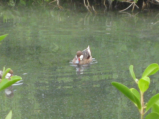 Anas bahamensis - The White-cheeked Pintail