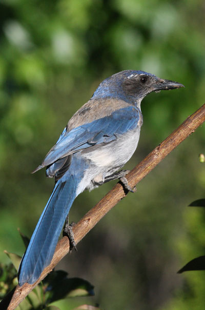 Aphelocoma californica - The Western Scrub Jay