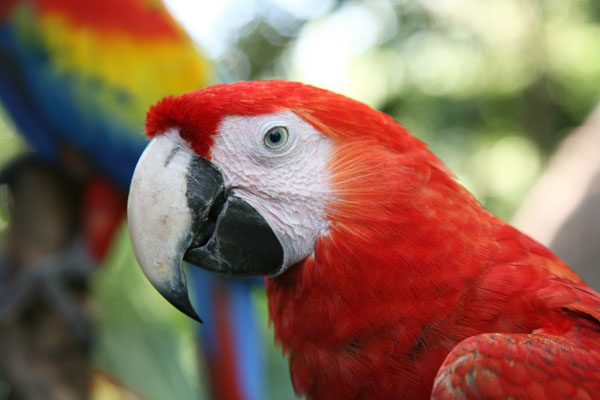 Ara macao - The Scarlet Macaw