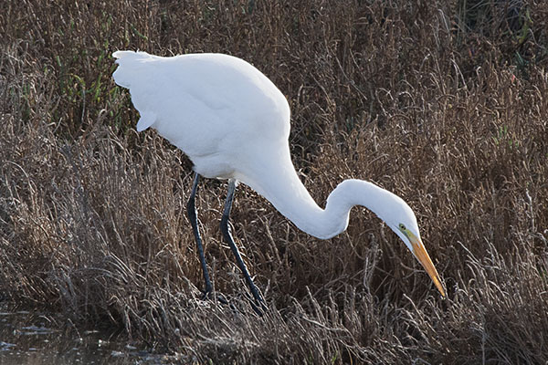 Ardea alba egretta (Gmelin, 1789) - The Great Egret