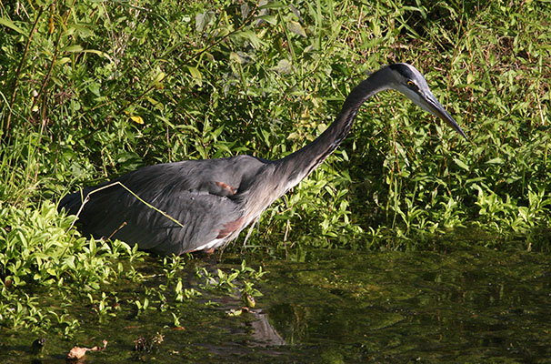 Ardea herodias herodias - The Great Blue Heron