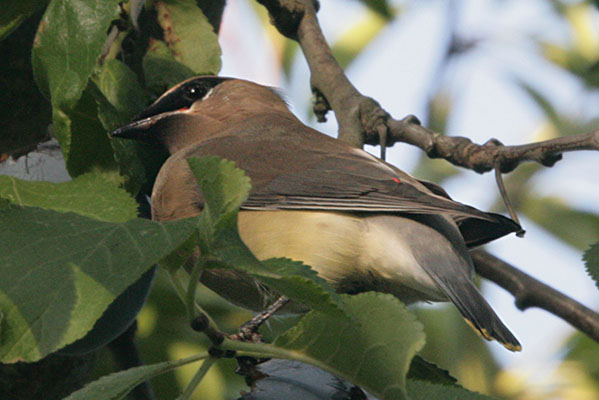 Bombycilla cedrorum - The Cedar Waxwing