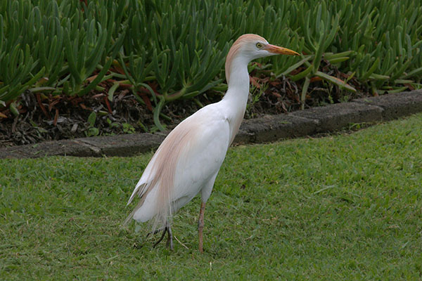 Bubulcus i. ibis (Linnaeus, 1758) - The Cattle Egret