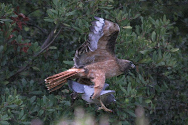 Buteo jamaicensis_calurus - The Red-tailed Hawk