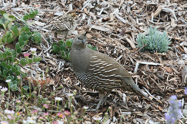 Callipepla c. californica - The California Quail