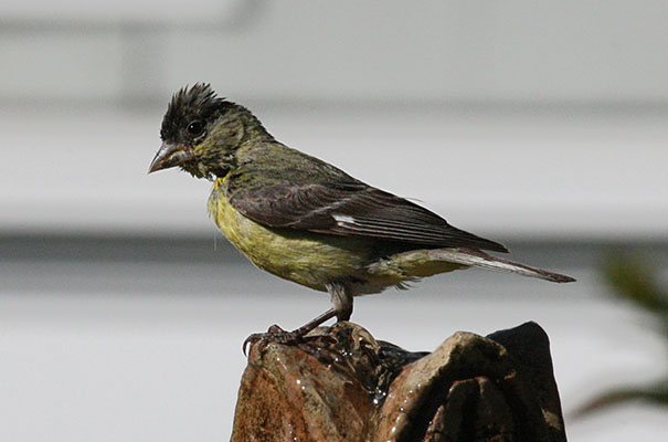 Carduelis psaltria - The Lesser Goldfinch