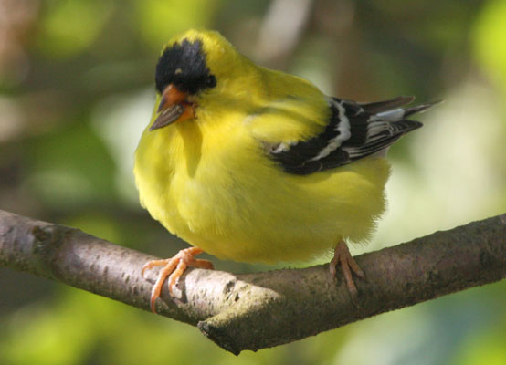 Carduelis tristis - The American Goldfinch