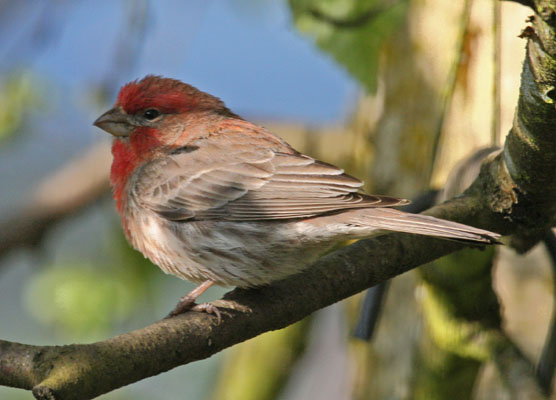 Carpodacus mexicanus - The House Finch