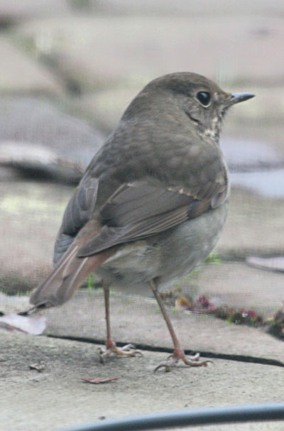 Catharus guttatus - The Hermit Thrush