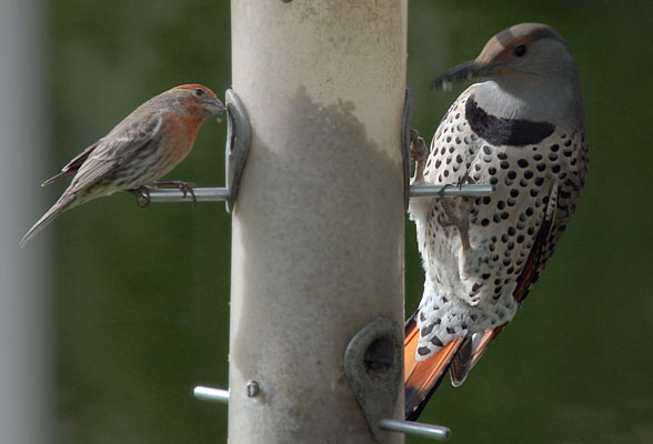 Colaptes auratus cafer- The Northern Flicker
