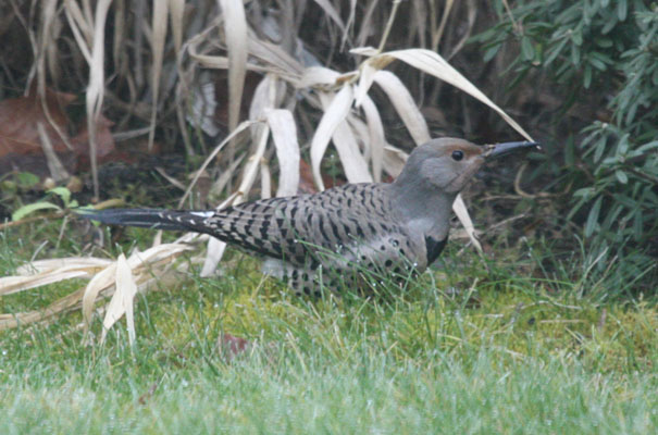 Colaptes auratus cafer - The Northern Flicker