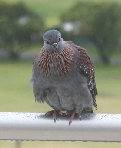 Columba guinea - The Speckled Pigeon