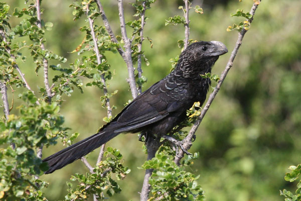 Crotophaga ani - The Smooth-billed Ani