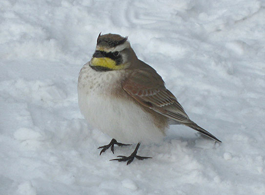 Eremophila alpestris - The Horned Lark
