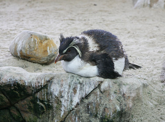 Eudyptes chrysocome - The Rockhopper Penguin