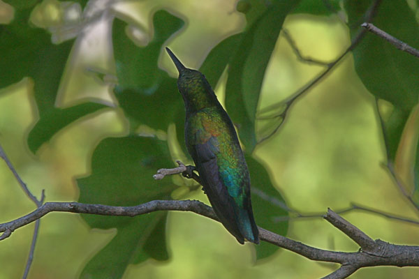 Eulampis holosericeus - The Green-throated Carib