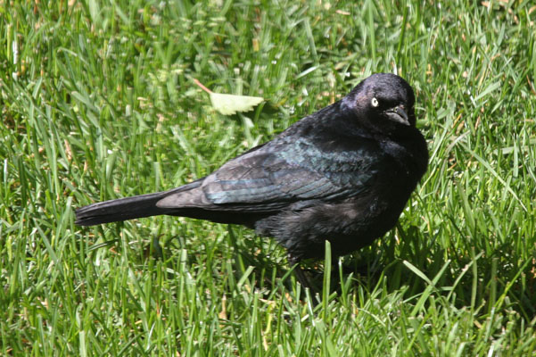 Euphagus cyanocephalus - Brewer's Blackbird
