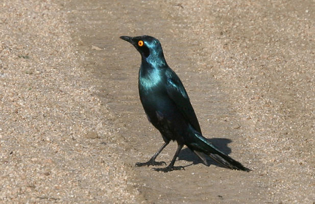 Lamprotornis nitens - The Cape Glossy Starling