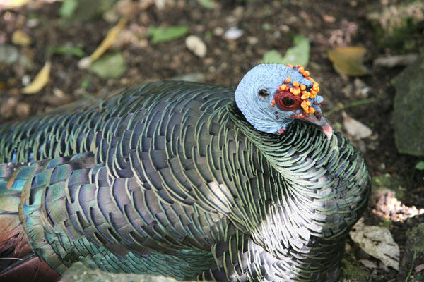 Meleagris ocellata - The Ocellated Turkey