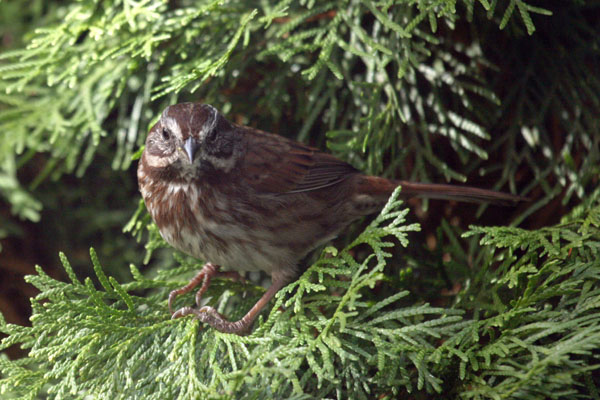 Melospiza melodia cleonensis - The Song Sparrow