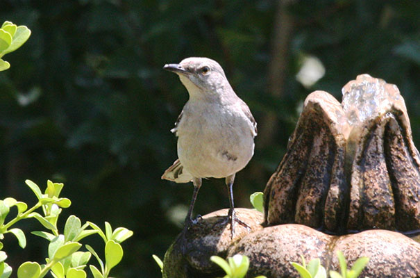 Mimus polyglottos - The Northern Mockingbird