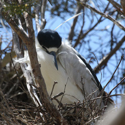 Nycticorax nycticorax hoactli (Gmelin, 1789) - The Black-crowned Night Heron