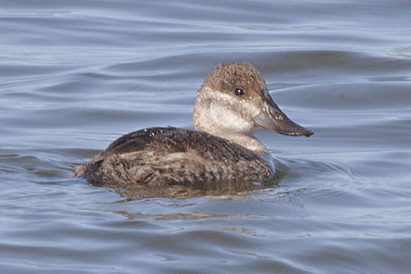 Oxyura jamaicensis - The Ruddy Duck