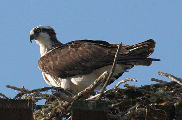 Pandion haliaetus - The Osprey
