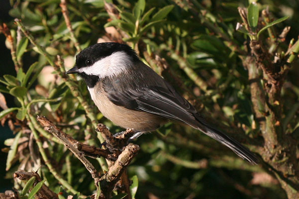 Parus atricapillus (Linnaeus, 1766) - The Black-capped Chickadee