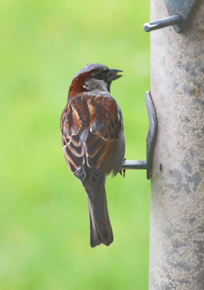Passer domesticus - The House Sparrow aka The English Sparrow