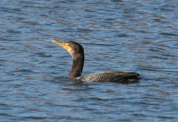 Phalacrocorax auritus albociliatus - The Double-crested Cormorant