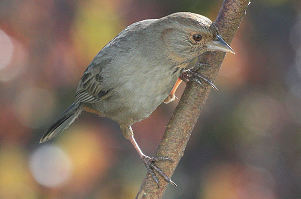 Pipilo crissalis - The California Towhee