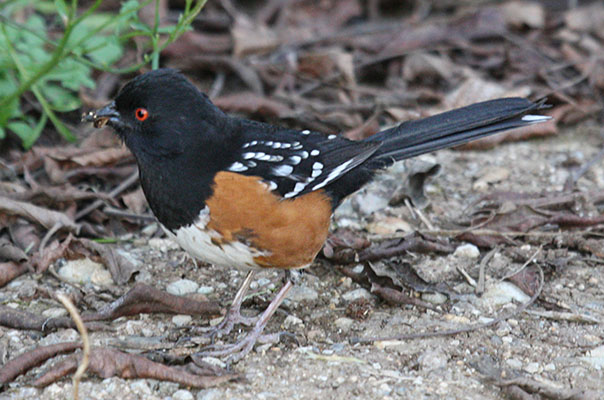 Pipilo maculatus maculatus - The Spotted Towhee