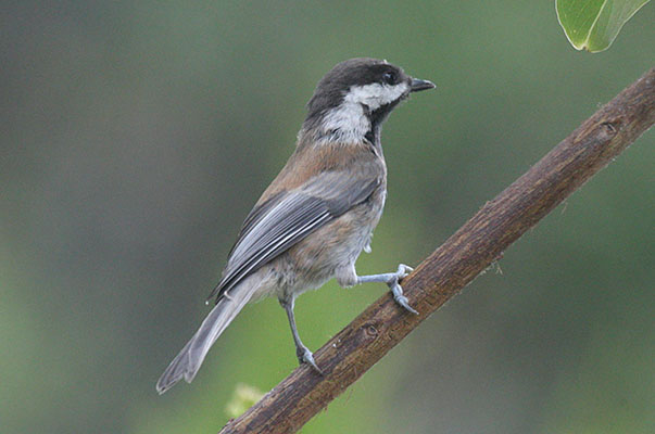 Poecile rufesens - The Chestnut-backed Chickadee