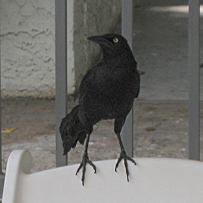 Quiscalus quiscula - The Common Grackle