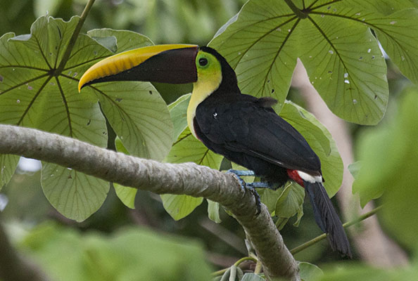 Ramphastos ambiguus - The Yellow-throated Toucan