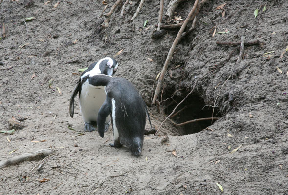 Spheniscus demersus - The African Penguin