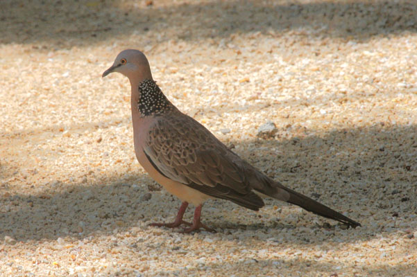 Streptopelia chinensis - The Spotted Turtle-dove