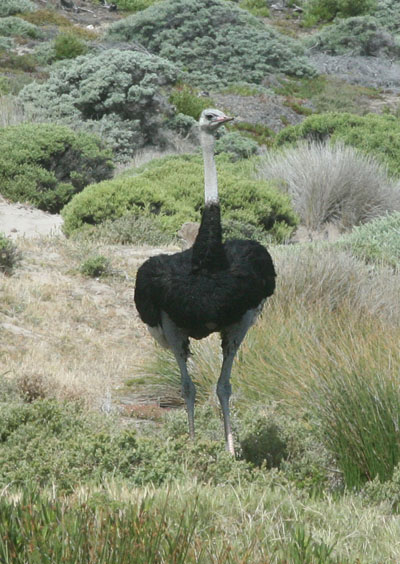 Struthio camelus australis - The Southern Ostrich
