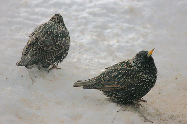 Sturnus vulgarus vulgarus - The European Starling aka The Common Starling