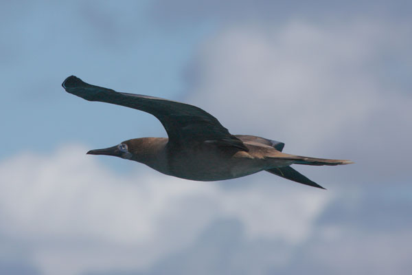 Sula leucogater - The Brown Booby