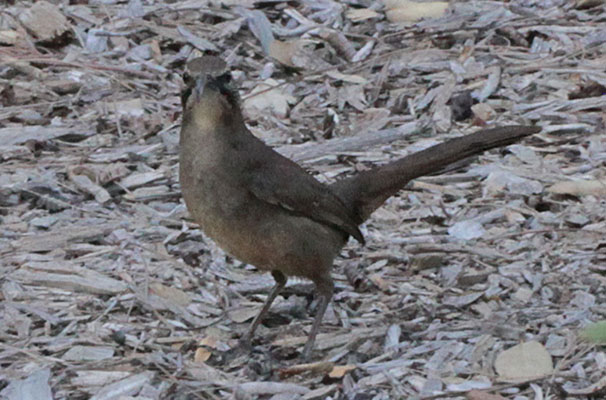 Toxostoma redivivum - The California Thrasher