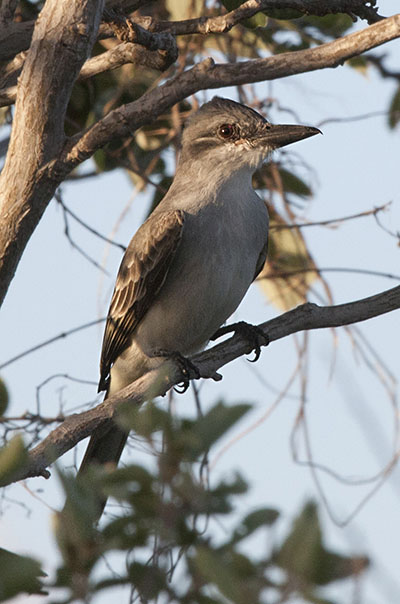 Tyrannus dominicensis dominicensis - The Gray Kingbird